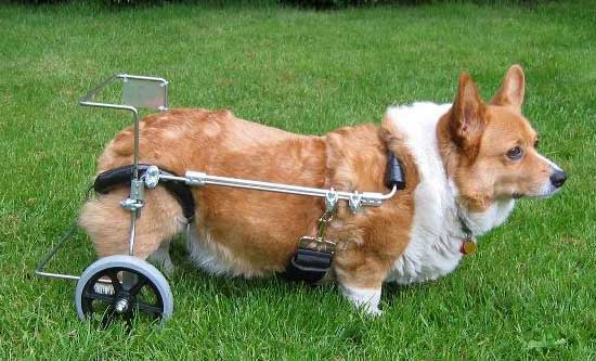 New! CorgiAid has a program which may be able to provide carts on loan to rescue corgis and others in need. These carts are donated to CorgiAid by the families of corgis who no longer need them.